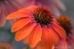 Orange Cone Flowe...