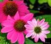 Cascade of Pink.....