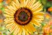 Sunflower Majesty