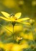 Little Green Bee
