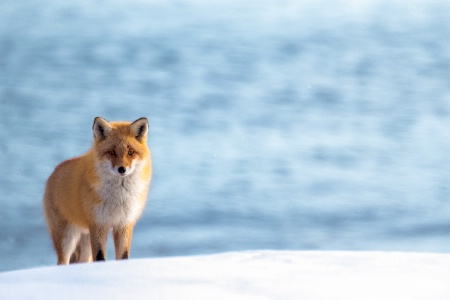 Dreamy Fox