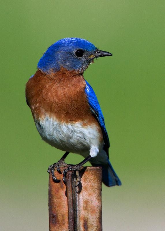 Eastern Bluebird - ID: 14982504 © Denise Dupras