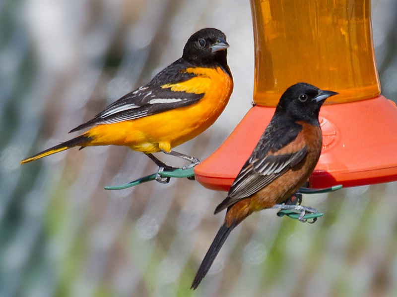 Baltimore and Orchard Oriole at Feeder - ID: 14982514 © Denise Dupras