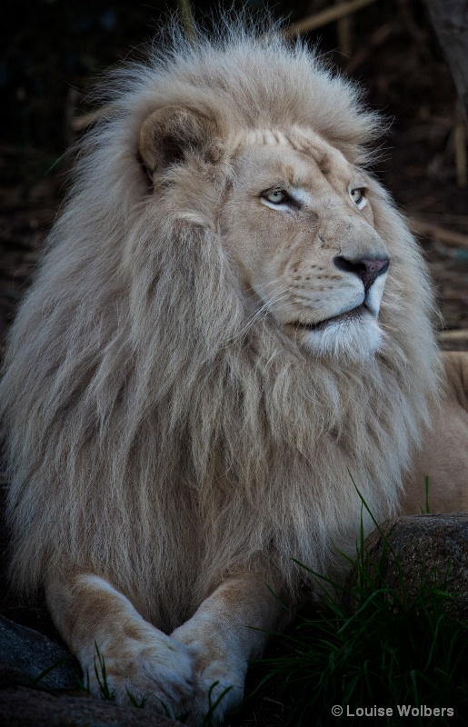 White Lion - ID: 14987386 © Louise Wolbers