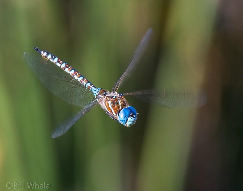 Blue-eyed Darner in Flight