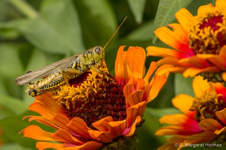 Grasshopper on Zinnia
