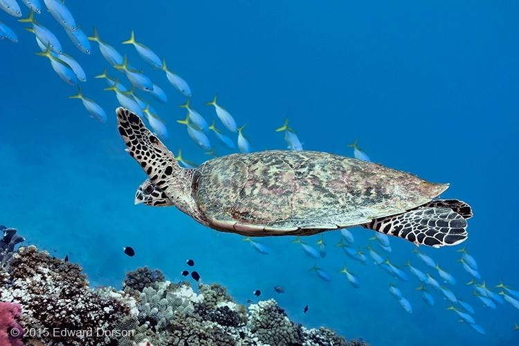 Hawksbill Sea Turtle 2 - ID: 14996608 © Edward Dorson