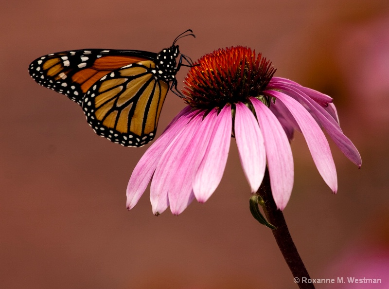 Butterfly on Coneflower - ID: 15003445 © Roxanne M. Westman