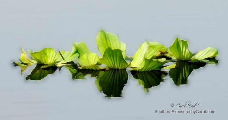 Water Lettuce  - ID: 15003825 © Carol Eade