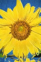 Artistic PA Sunflower 6-0 f lr 9-25-15 j010