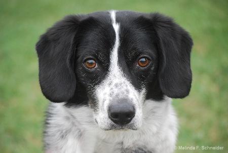 Eager Beagle