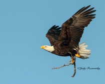 Eagle Carrying A Stick