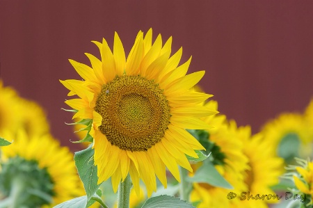 Sunflower and Red Barn