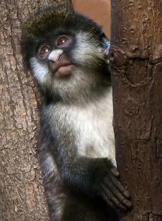 Baby Lesser Spot Nose Monkey