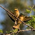 2Bee Eaters - ID: 15016882 © Louise Wolbers