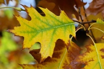 Yellow and Green Leaf