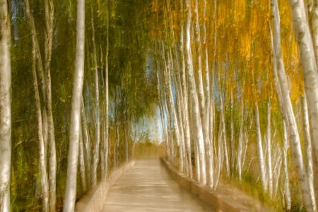Boardwalk through the Birches