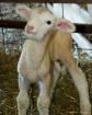 Newborn Lamb In B...