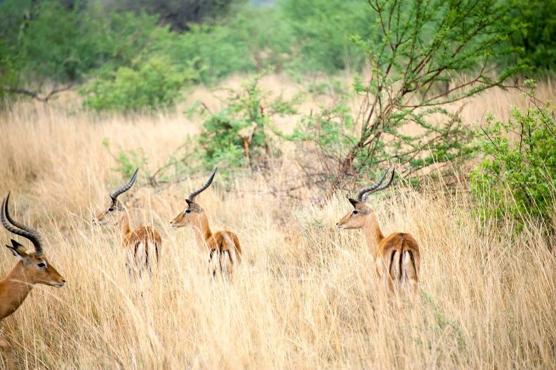 Impala, Pilanesberg Reserve - ID: 15025661 © Mike Keppell