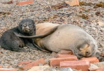Fur Seal and young pup make home in Grytviken