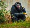 Chimp with an Att...