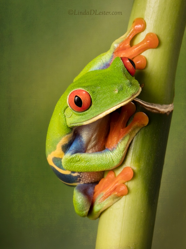 The Beautiful Red Eye Tree Frog