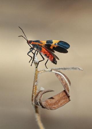 milkweed bug II