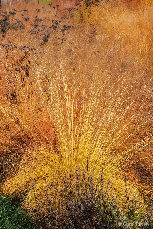 Golden Grasses - ID: 15033531 © Carol Flisak