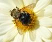 Fall Pollinator