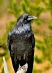 Raven seemingly p...