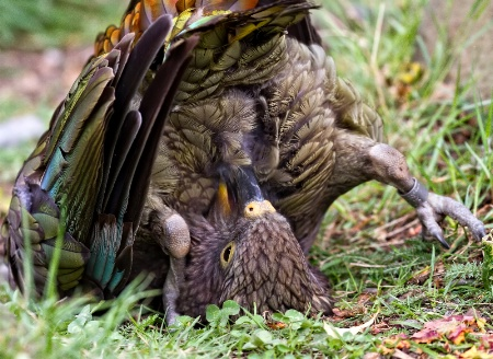 Roly poly preening kea style