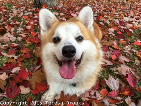 Baron in fall leaves 2015