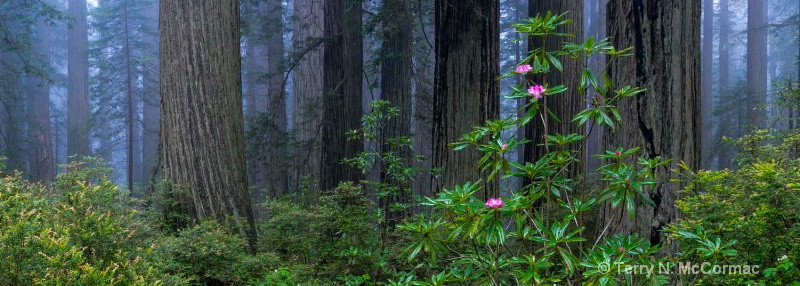 Rhododendrons among the Redwoods - ID: 15042135 © TERRY N. MCCORMAC