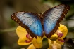 Blue Morpho Beaut...