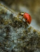 Lady Beetle Conqu...