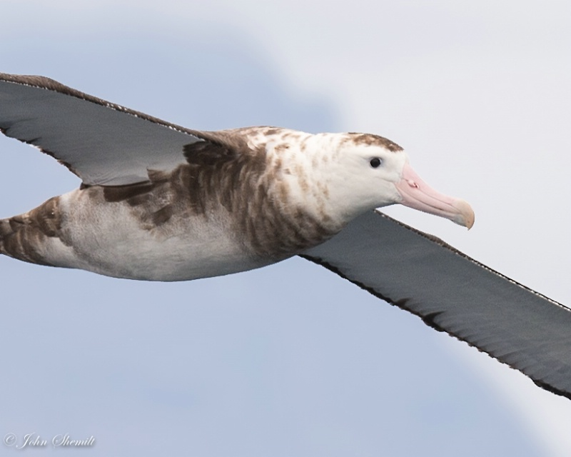 Wandering Albatross - Nov 9th 2014 - ID: 15046764 © John Shemilt
