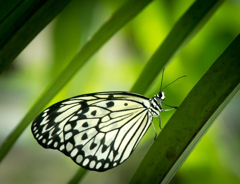 Rice Paper Butterfly - ID: 15049215 © Teresa Letkiewicz