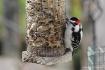 Woodpecker 3