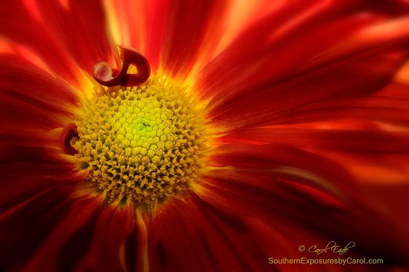 Mum Red Rover - ID: 15050559 © Carol Eade