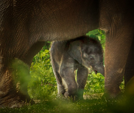 New elephant