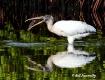 "Wood Stork "" ..."
