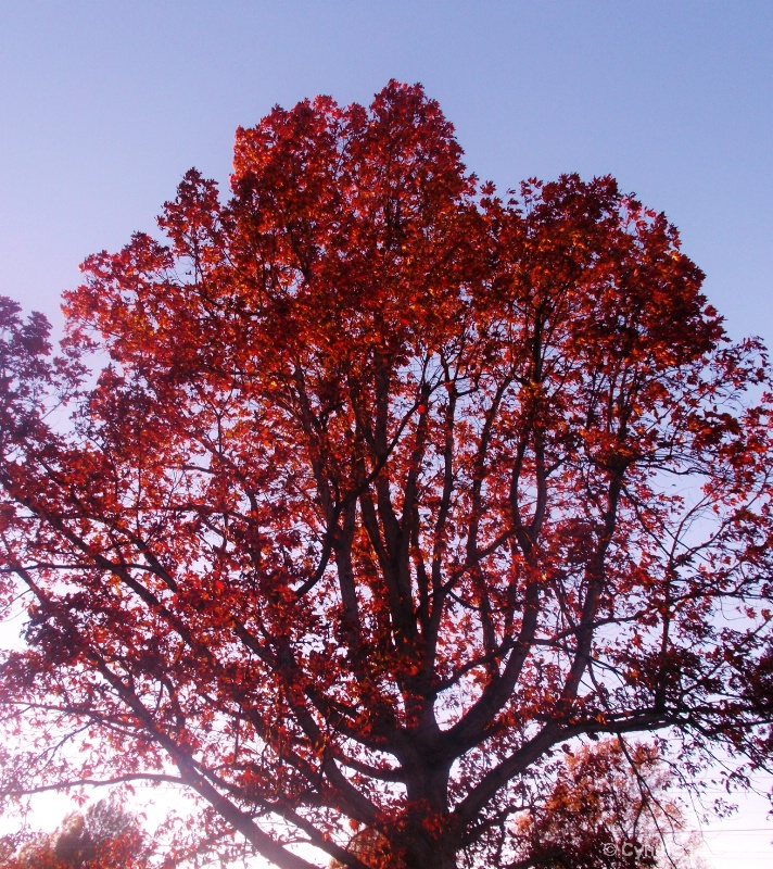 trees turning red for autumn