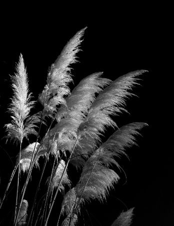 Pampas Plumes