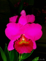A Red Orchid.