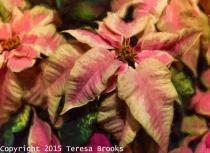 Artistic Poinsettia Christmas Season Marble
