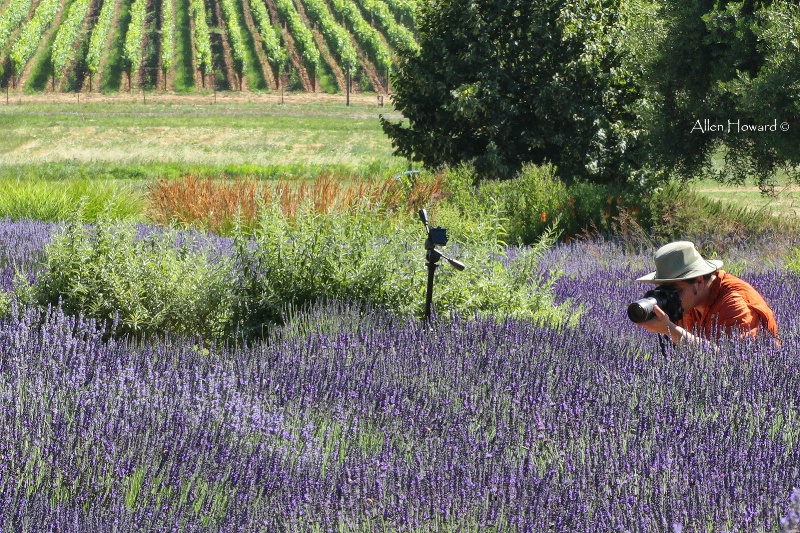 Photographing Lavender
