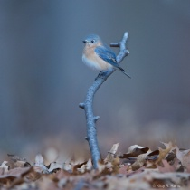 Little Bluebird on a Branch
