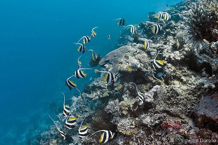 Bannerfish on Reef - ID: 15067247 © Edward Dorson