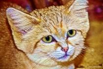 Artistic Sand Cat 12-12-15 103