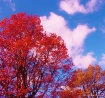 Autumn trees turn...
